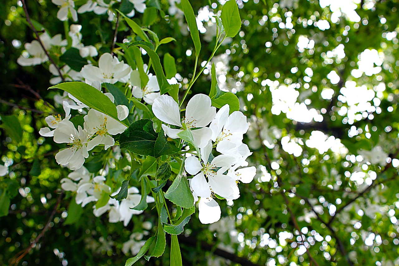 apple-tree-382742_1280